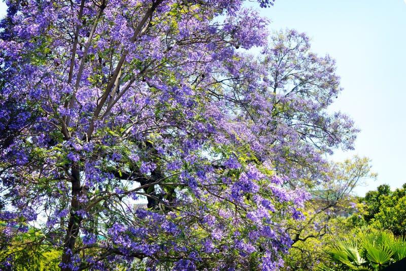 Purple Leaf Tree stock images