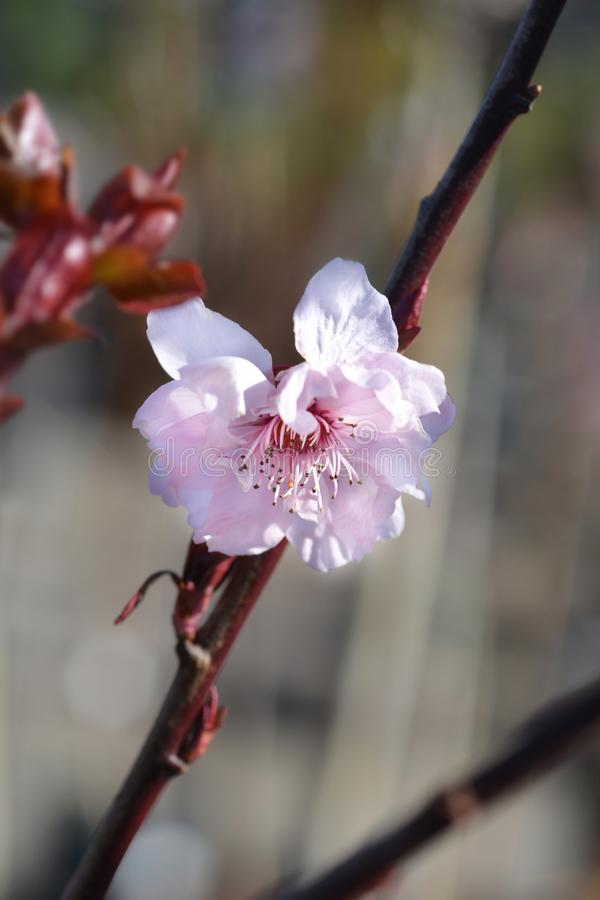Purple-leafed plum stock photo