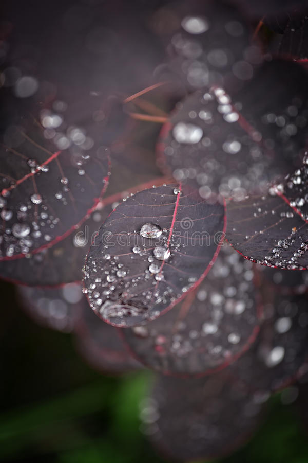 Purple leafs with water drops.  royalty free stock image
