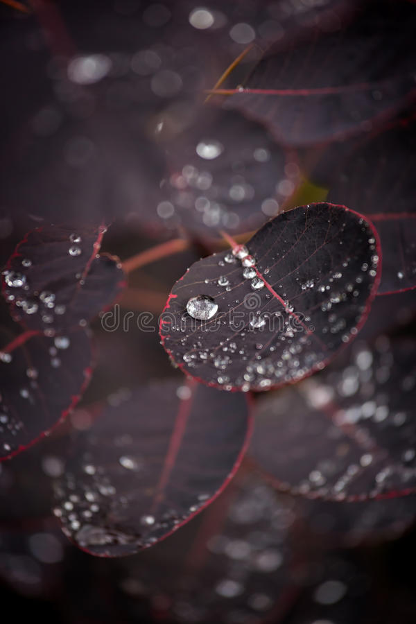 Purple leafs with water drops.  royalty free stock photography