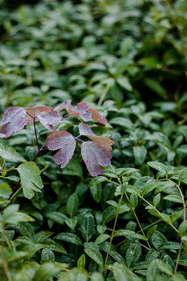 Purple leaves of clover on green grass background with dew drops at morning. royalty free stock photo