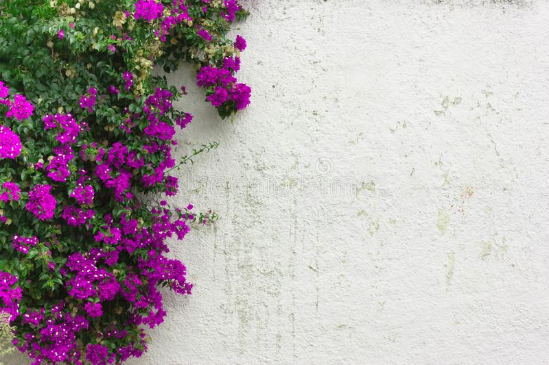 The purple leaves pink flowers ivy on white wall stock photo download the purple leaves pink flowers ivy on white wall stock photo image mightylinksfo Gallery