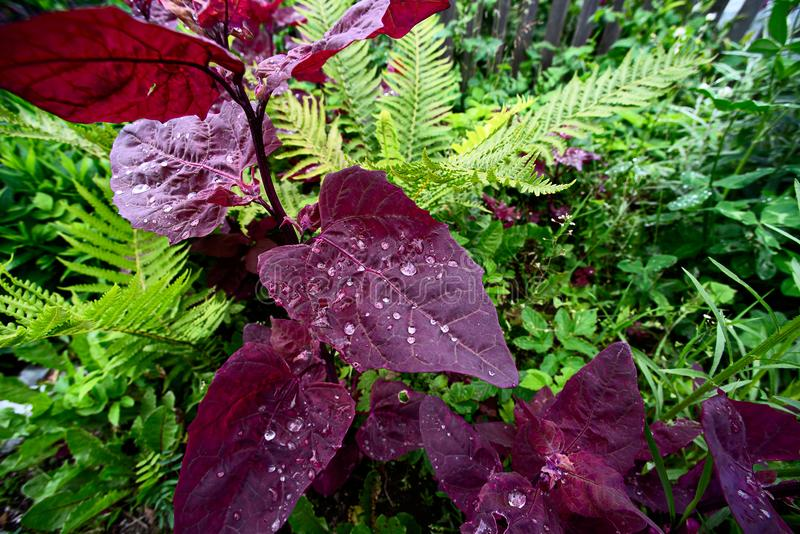 Purple leaves of the plant Atriplex with water drops. In the garden stock photo