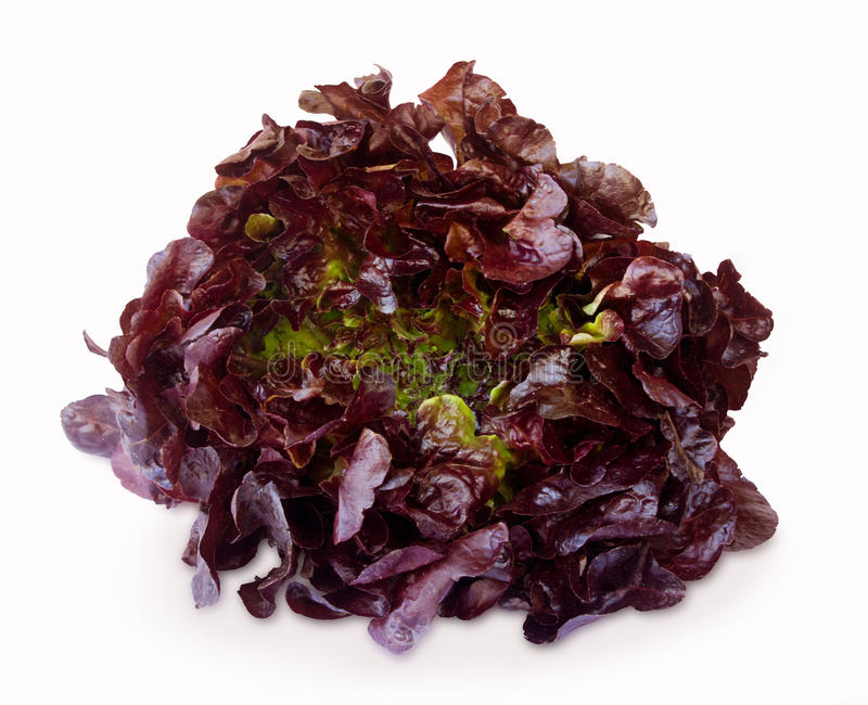 Purple lettuce isolated on a white royalty free stock image