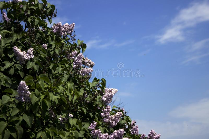 Purple lilac blooms in spring in clear weather, blue sky, background.  royalty free stock photos