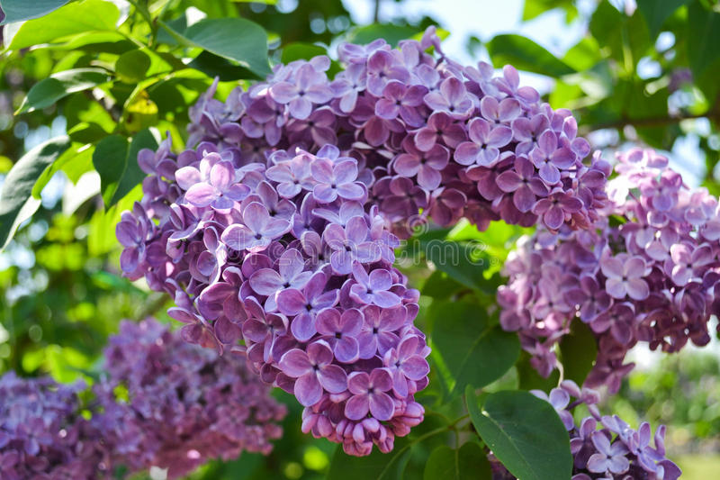 Purple Lilac Blossom stock images