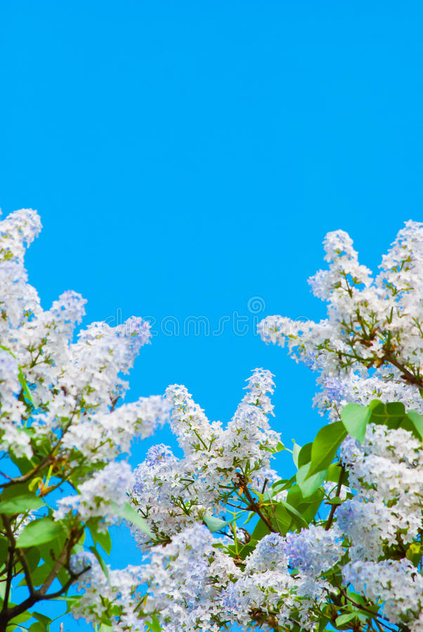 Download Purple lilac in blue sky stock image. Image of natural - 31179493