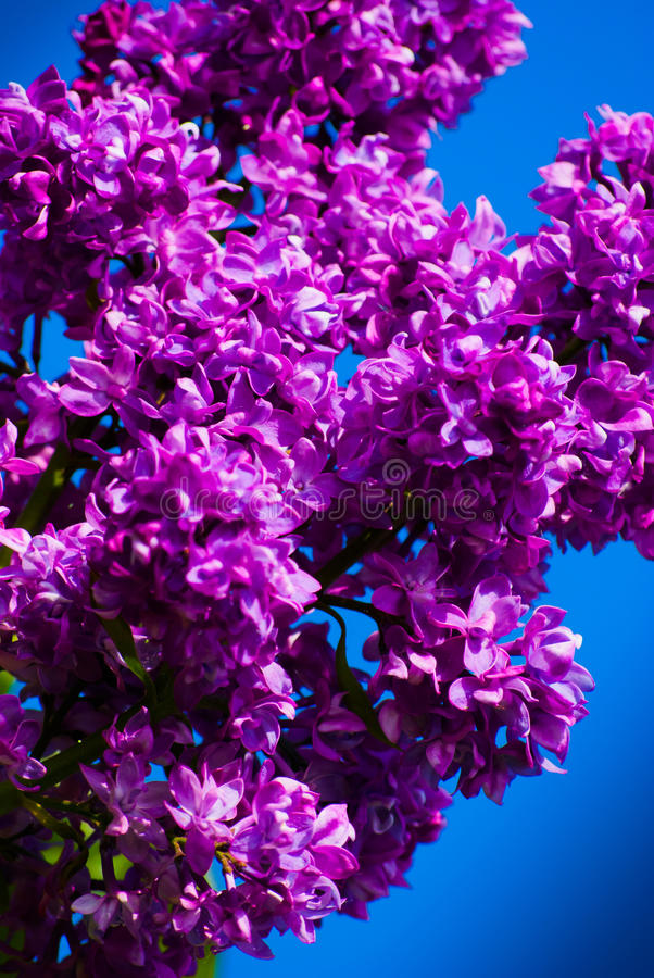 Download Purple lilac in blue sky stock photo. Image of floral - 31179512