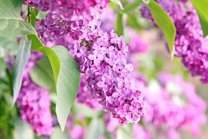 Purple lilac bush royalty free stock photos