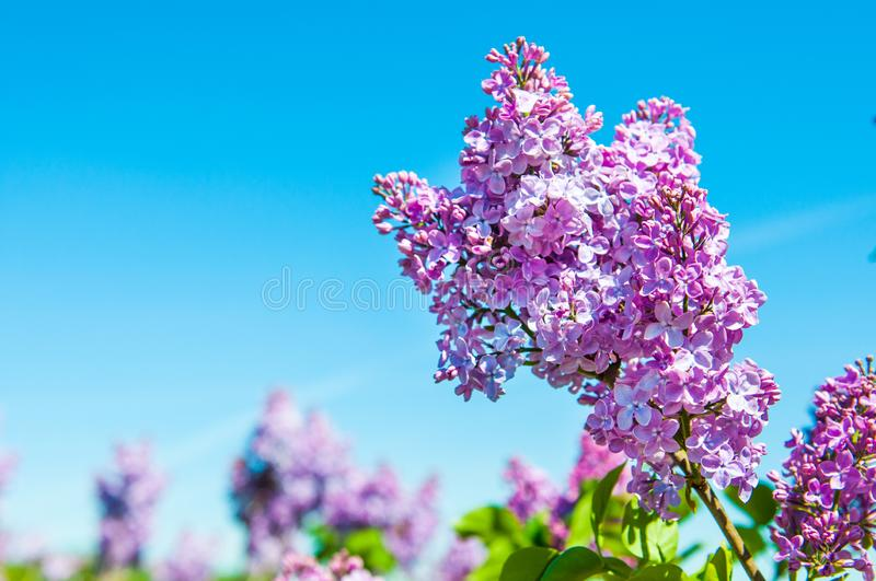 Purple lilac flowers against blue sky background stock photography