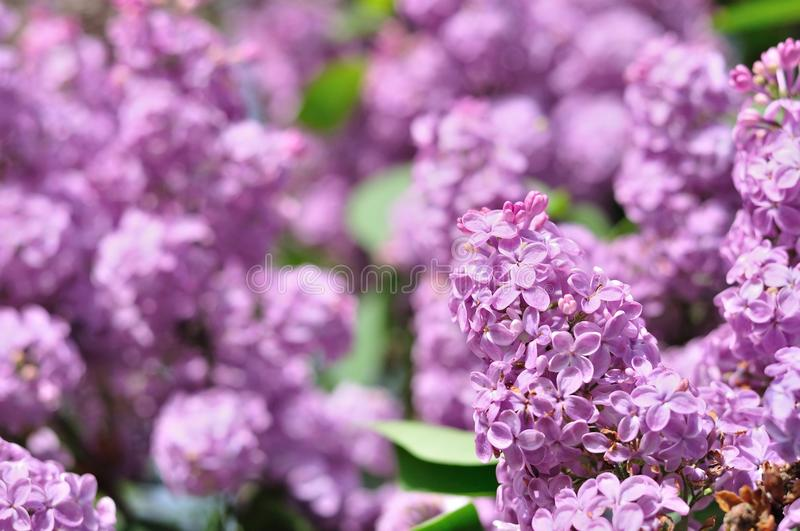 Purple Lilac flowers in spring stock photography
