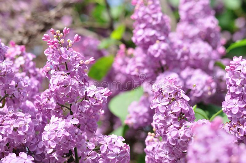 Purple Lilac flowers in spring stock photo