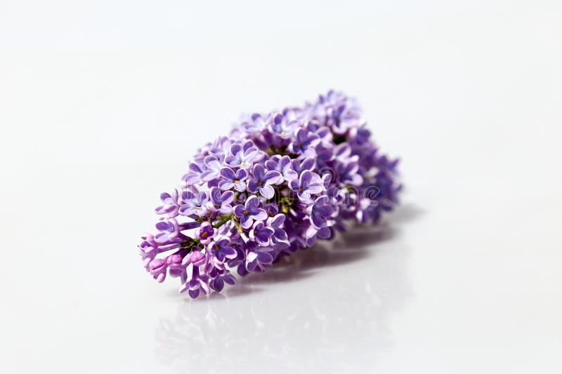 Purple Lilac Flowers Isolated on White Background. stock photos