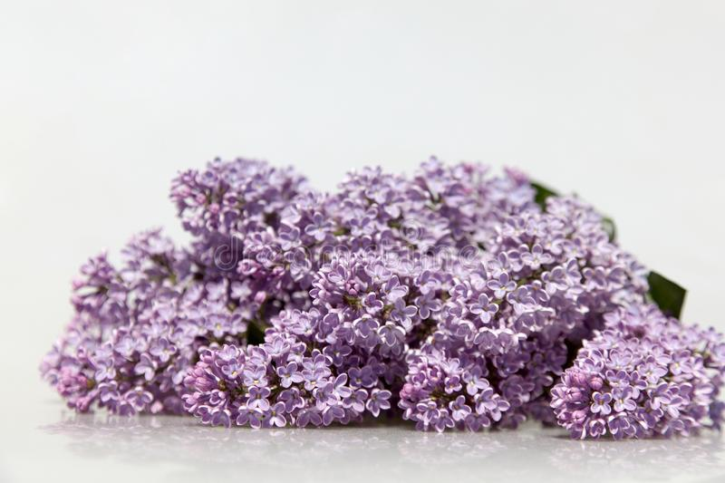 Purple Lilac Flowers Isolated on White Background. stock photo