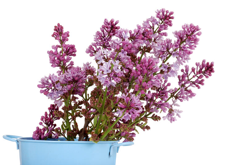 Download Purple Lilac Flowers In A Pail Stock Image - Image: 25161765