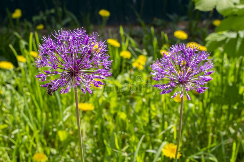 Purple lilac hats of flowering garden onions, flowering of green plants of green onions, the formation of onion seeds royalty free stock photos
