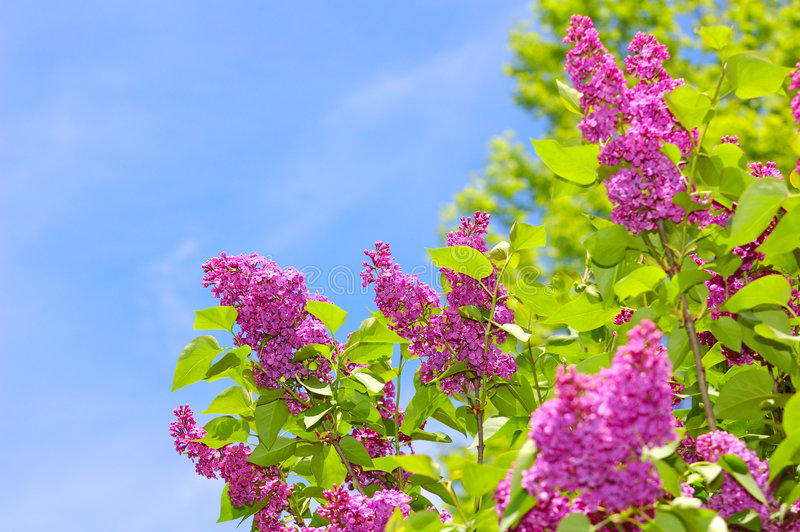 Download Purple Lilacs and Blue Sky stock photo. Image of spring - 2233702