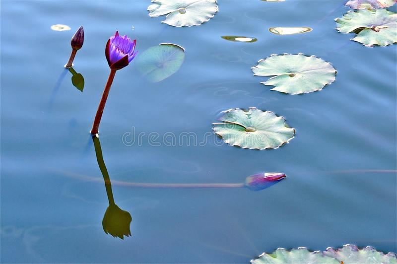 Purple Lily in Blue Water. A purple lily in blue water with lily pads royalty free stock image