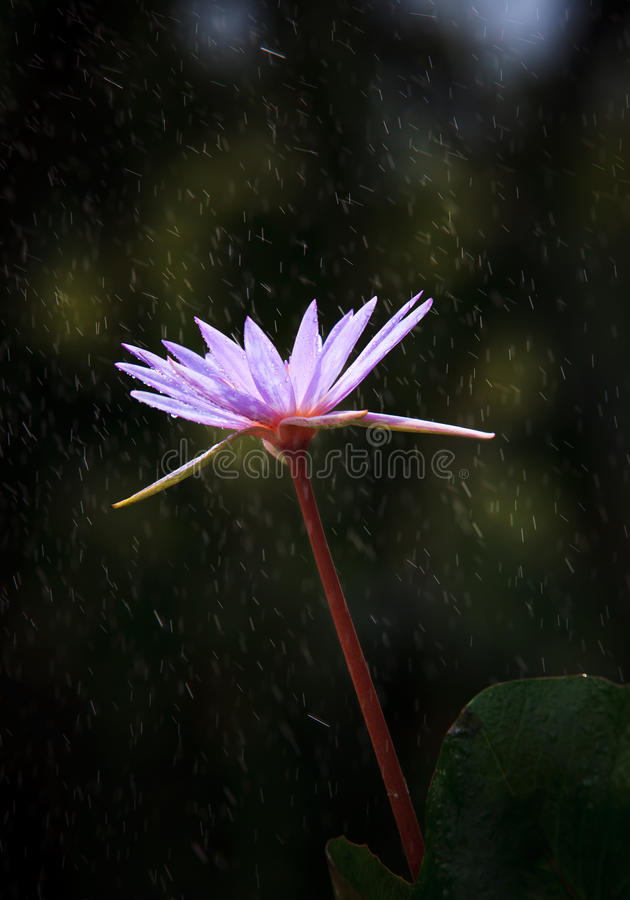 Download Purple Lily Lotus With Fresh Water Dew And Green L Stock Photo - Image: 27113768