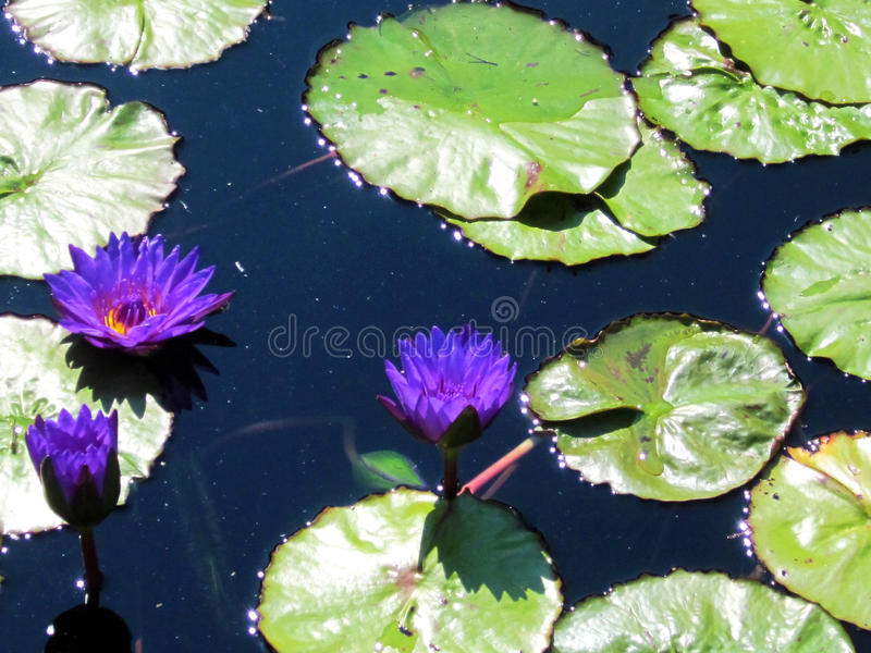 Purple Lily. Three purple lilies amongst green lily pads in a black water pond stock images