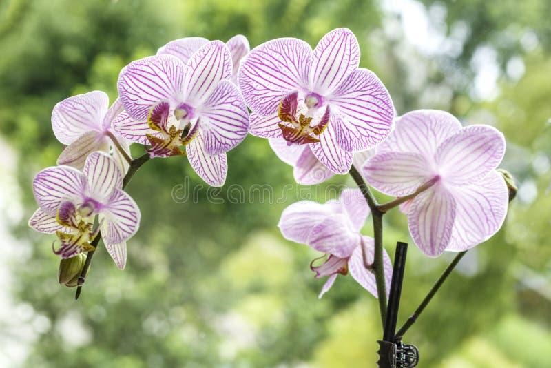 Purple line orchid stock image