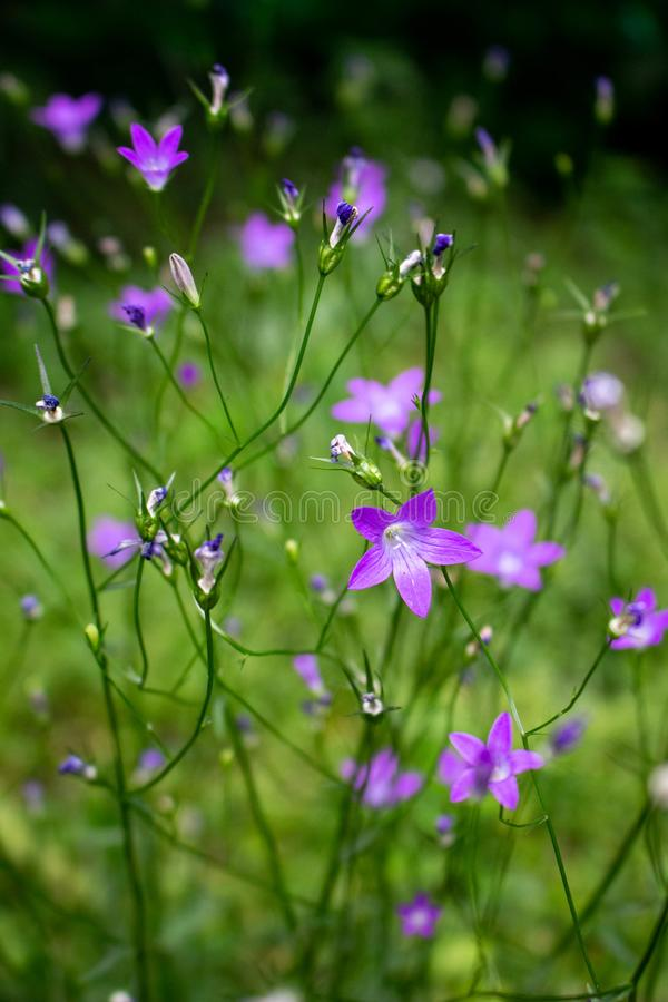 Purple little flowers in the garden stock photography