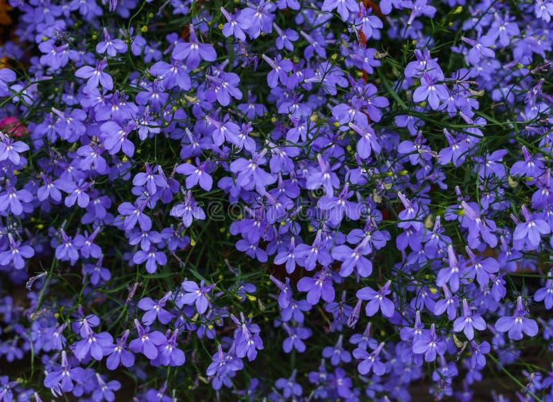 Purple Lobelia seedlings in a flower pot.  royalty free stock images