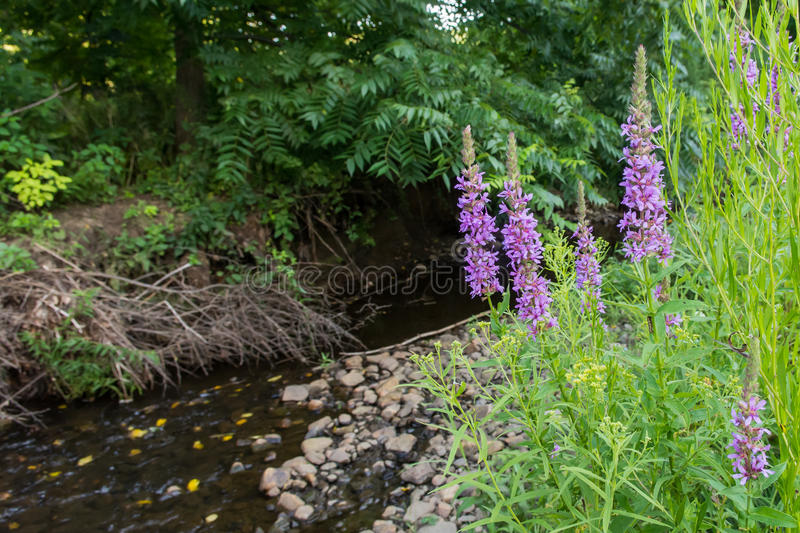 Purple Loosestrife stock images