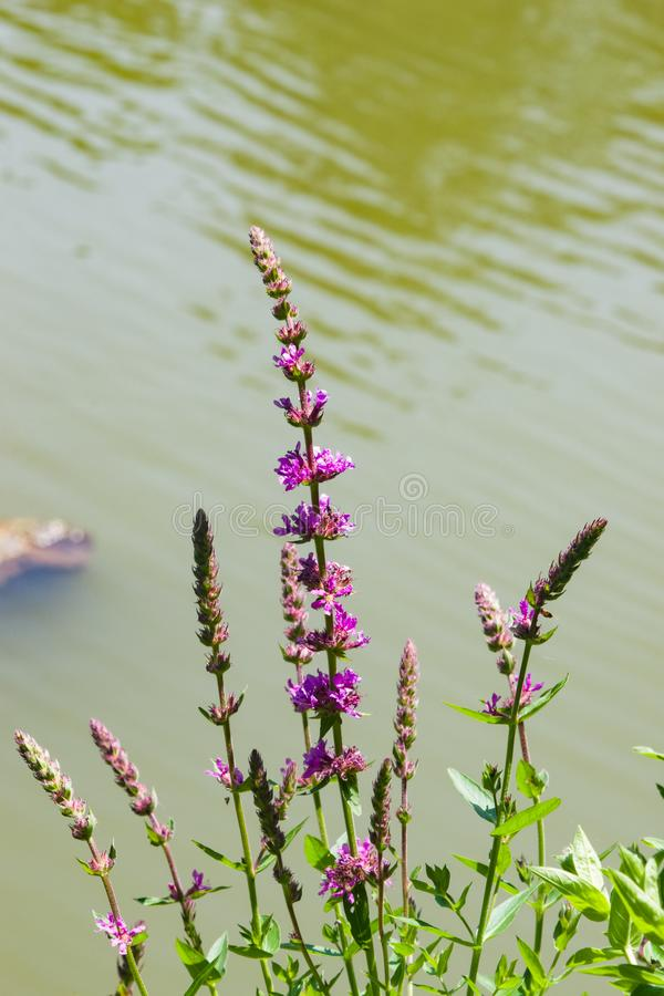 Purple Loosestrife or Lythrum salicaria blossom over water close-up, selective focus, shallow DOF.  stock images