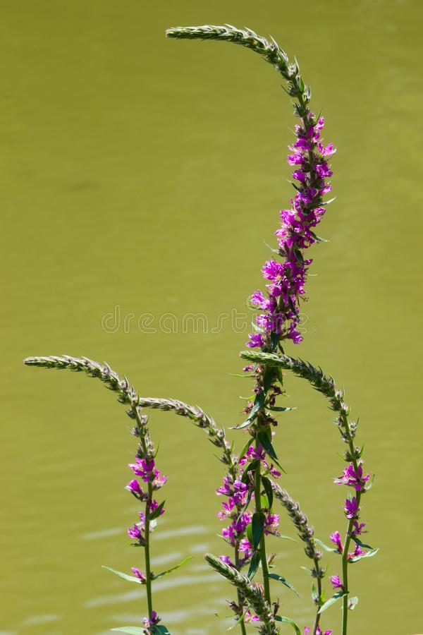 Purple Loosestrife or Lythrum salicaria blossom over water close-up, selective focus, shallow DOF.  royalty free stock photo