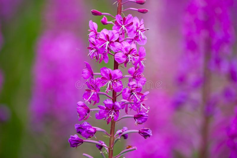 Purple loosestrife. Macro view of a single purple loosestrife flower, isolated by shallow depth of field against a field of the same in Scotland royalty free stock photo