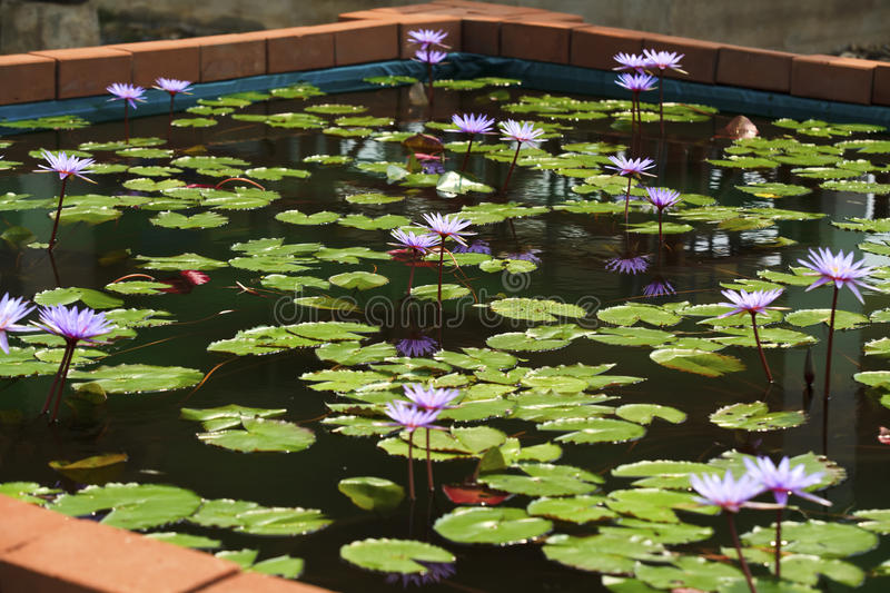 Purple lotus. In the nature with clear water stock images