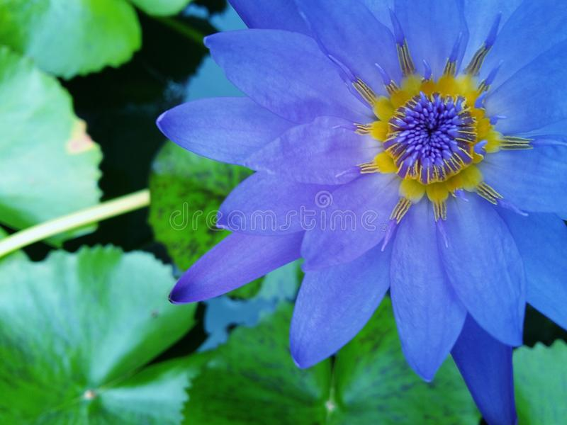 The purple lotus is blooming with close-up royalty free stock images