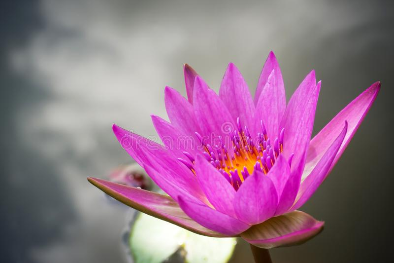 Purple lotus blooming in a pound. Aquatic plant. Tropical flower. Nature background with copy space. royalty free stock images