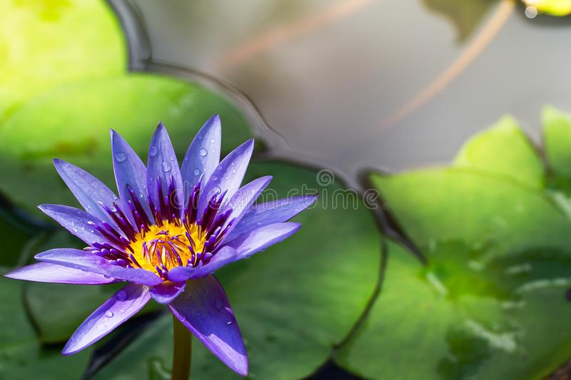 Purple lotus blooming with water drop on blurred green leaves background stock image