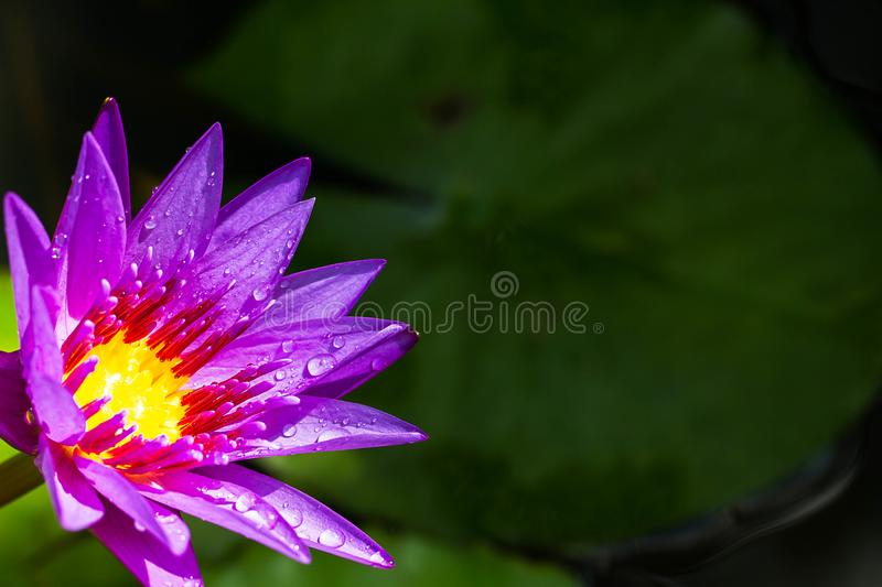 Purple lotus blooming with water drop on blurred green leaves background stock images
