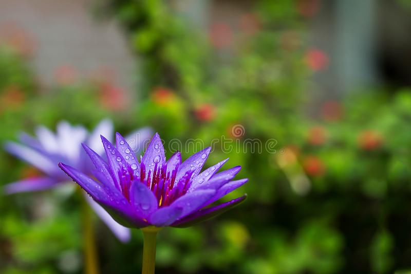 Purple lotus blooming with water drop stock image
