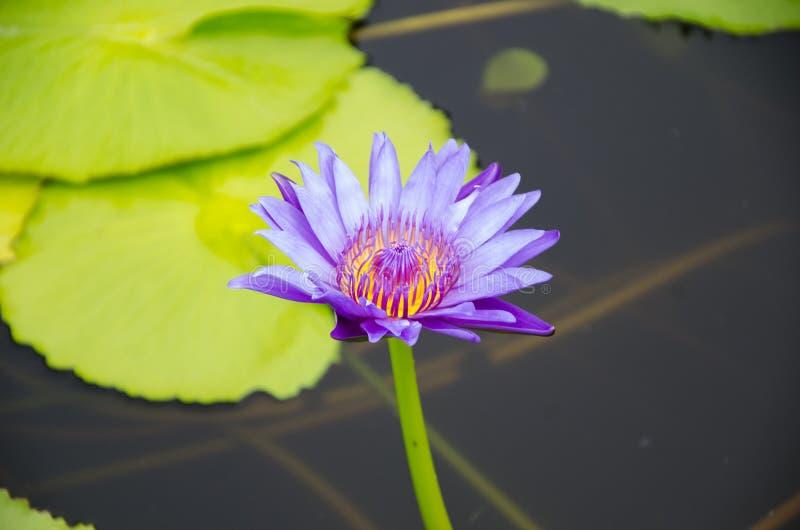 Purple lotus blossom on the water. Purple lotus blossom on the water and green leaf background stock photography