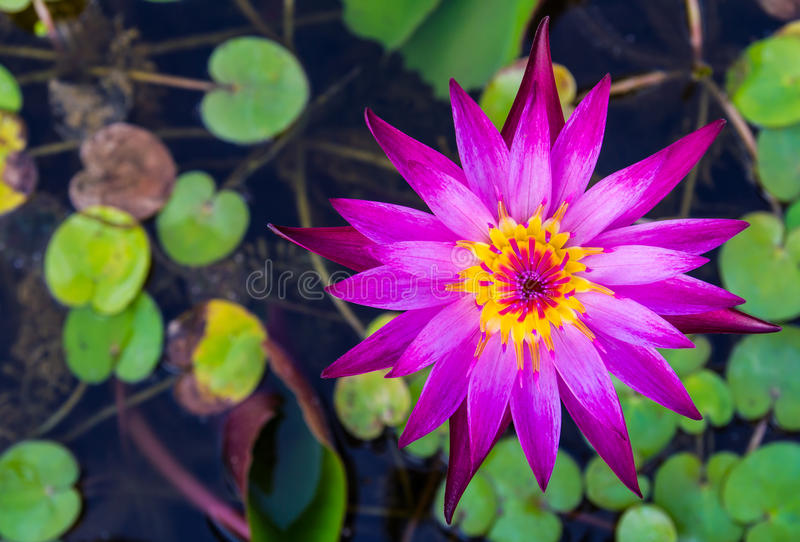 Purple lotus blossom. Yellow pollen on the water over the leaves stock photography