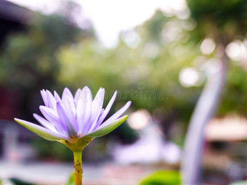 Purple lotus blossoms or water lily flowers blooming on pond. Summer Buddha worship decoration  Background stock image