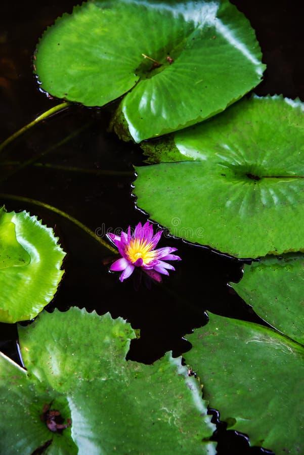 Purple Lotus flower stock image