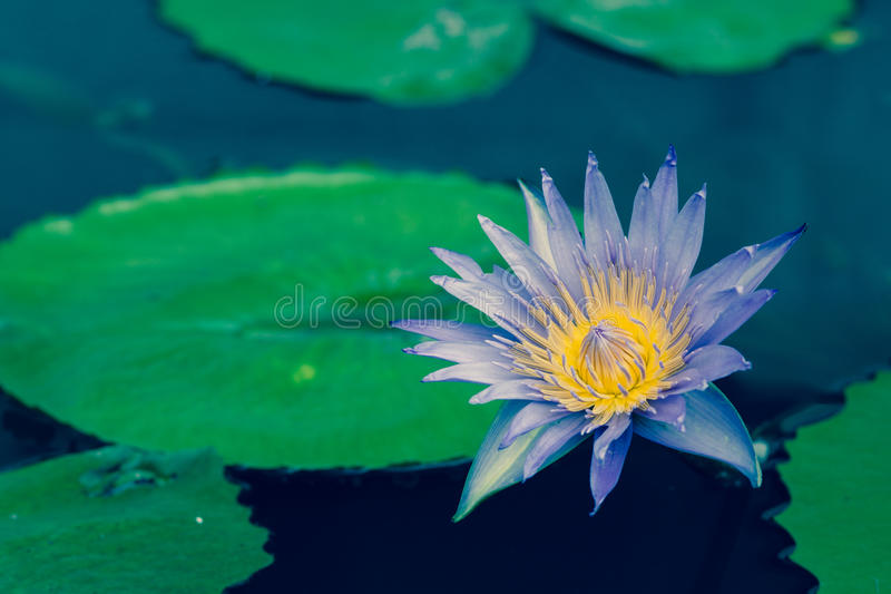 Purple Lotus flower. Beautiful purple blooming lotus flower on the water with retro color stock photos