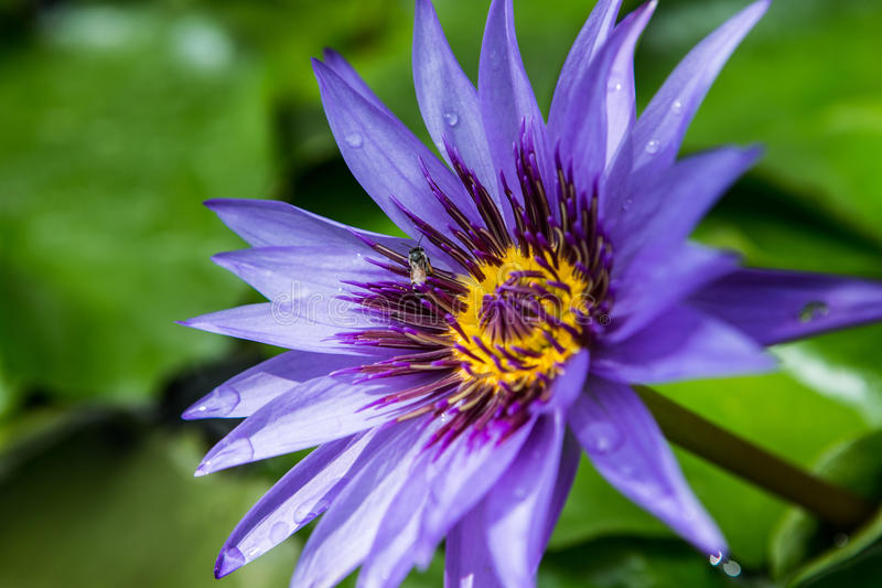 Purple lotus flower with bee fly yellow pollen royalty free stock photos