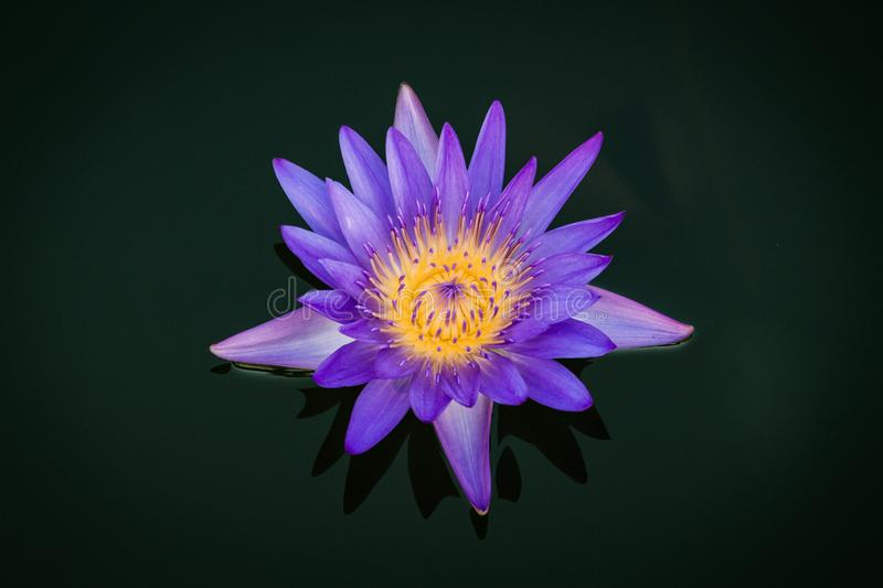 Purple Lotus flower on black background stock images