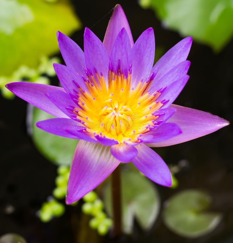 Purple lotus flower in blooming close up stock image