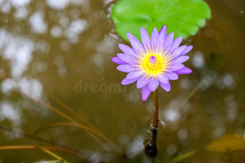 A purple lotus flower is blooming in the pool stock photography