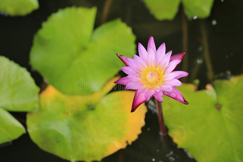 Purple lotus flower blooming stock image