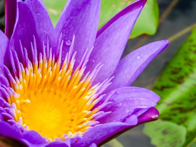 Purple lotus flower blooming on water surface. Swamp background stock photography