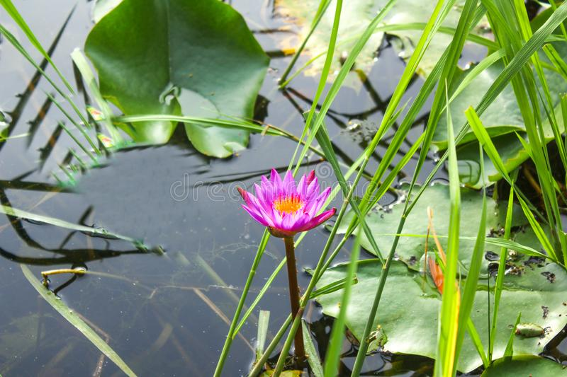 Purple lotus flower on body of water, water lily, bud, plant, pond, royalty free stock image
