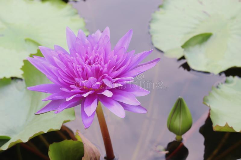 Purple lotus flower with green leaves in the pond stock image